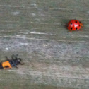 Lady Bug and larva