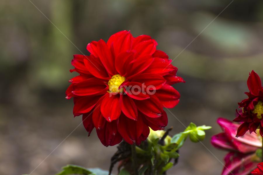 by Vishwas Watwe - Flowers Single Flower (  )