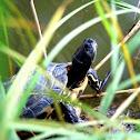 Sicilian pond turtle