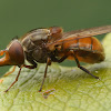 Common Snout-hoverfly