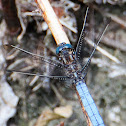 Keeled Skimmer; Libélula Azul