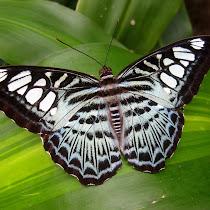 Butterflies of Sri Lanka