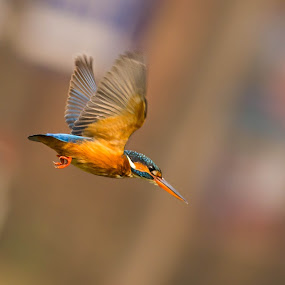 Common Kingfisher by Sahad Siddique - Animals Birds ( bird, nature, action, wildlife, animal )