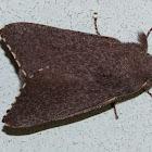 Rufous Snout Moth