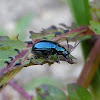 Blue Mint Beetle