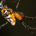 Pear-shaped Leucauge