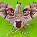 Twin-spotted Sphinx