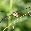 Band-winged Dragonlet (female)