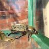 Eastern Hercules Beetle, female