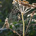 European garden spider or cross spider