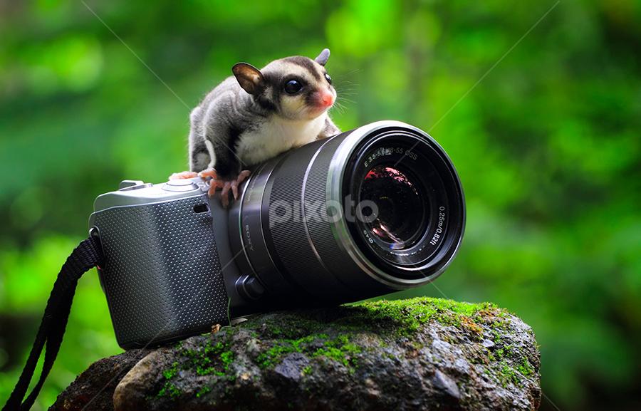 ... by Sugeng Sutanto - Animals Other Mammals ( sugarglider )