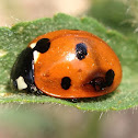 Seven-spotted Lady Beetle (Zombie victim of parasitic wasp?)