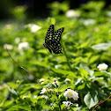 綠斑鳳蝶(Tailed jay)