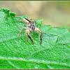Chrysilla Jumping Spider
