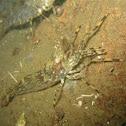 Dock shrimp