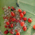 Hemiptera Nymphs and Egg Parasitoid
