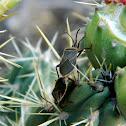 Cactus Bug
