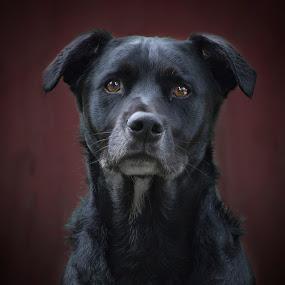 Justice by Amy Woldrich - Animals - Dogs Portraits ( portland, square, labrador, mutt, black, portrait,  )