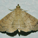 Dotted Carteris Moth