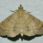 Dotted Carteris Moth