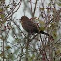 Blackbird (female)