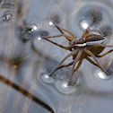 Raft spider ( Oever spin )