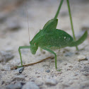 Curve-tailed Bush Katydid