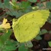 Three-Spot Grass Yellow