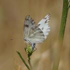 Checkered White (female)