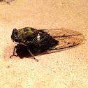 Scissors Grinder Cicada (Female)