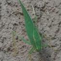 California Angle-winged Katydid