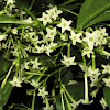 Night-blooming Jasmine