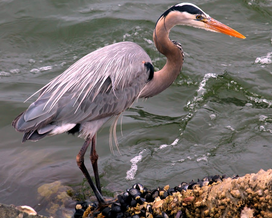 Just Chilling by Lasanthica Fernando Benedict - Animals Birds ( love, cool, great blue heron, great, blue, fun, heron )