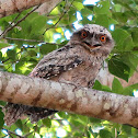 Tawny Frogmouth (young juvenile)