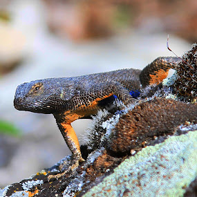Lizard by Chuck Bissey - Animals Reptiles ( 10after5photography )