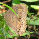 Common or Dingy Bushbrown