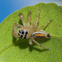 Jumping Spider ♀