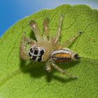 Jumping Spider ♀