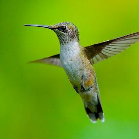 Forever Friends by Roy Walter - Animals Birds ( bird, flight, animals, hummingbird, feathers )