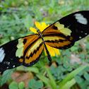 Lysimnia tigerwing