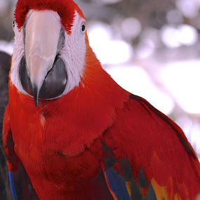 Toupee Or Not Toupee, That Is The Question by Ed Hanson - Animals Birds ( bird, red, blue, parrot, white )
