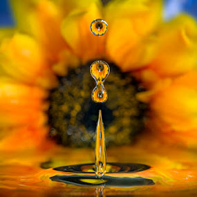 Sunflower's drops by Alberto Ghizzi Panizza - Abstract Water Drops & Splashes ( water, reflection, drop, sunflower, droplets )