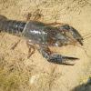 Cangrejo americano. Red swamp crawfish