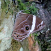 Banded Treebrown