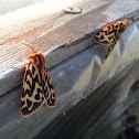 Lapland Tiger Moth