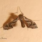 Lineodes moth