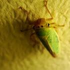 Leafhopper (Free-living Hemipteran)
