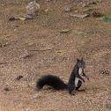 Unidentified black squirrel