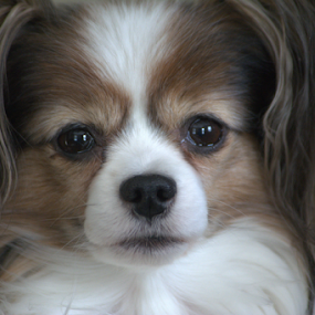 by Deanna Clark - Animals - Dogs Portraits (  )