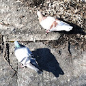 Rock Pigeon (male and female)